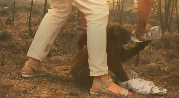 A koala was rescued from wildfires (Channel 9/AP/PA)