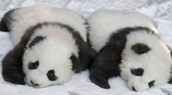 Panda cub Meng Yuan looks to the cameras as his brother Meng Xiang is almost sleeping during a name-giving event for the young panda twins (AP/Michael Sohn)