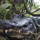 A resting alligator (Robert F. Bukaty/AP)