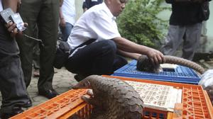 Forest rangers display pangolins confiscated from smugglers during a press conference in Medan, North Sumatra (Binsar Bakkara/AP)