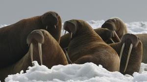 US authorities said they cannot say with certainty that the Pacific walrus is likely to become endangered despite an extensive loss of Arctic sea ice due to global warming (AP)