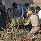 Indian wildlife officials carry the tranquillised leopard (AP/Mahesh Kumar A)