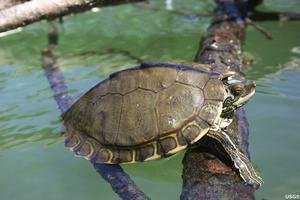 A Pearl River map turtle (University of Georgia/USGS/AP)