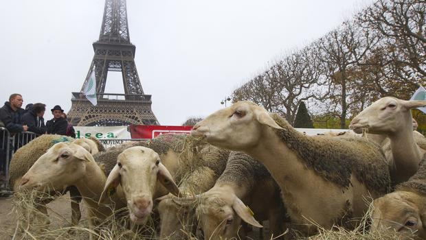 Sheep eat in the shadow of the Eiffel Tower during a protest by farmers in Paris (AP)