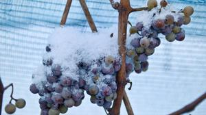 Snow-covered grapes in a vineyard near Freyburg, Germany (Eckehard Schulz/AP)
