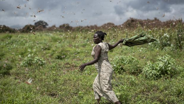 Kenya has not seen a locust outbreak like this in 70 years, the UN's Rosanne Marchesich said (Ben Curtis/AP)