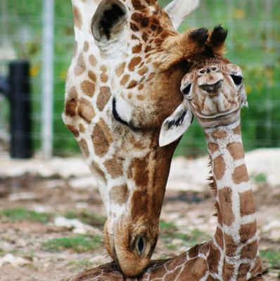 Male giraffe twin Nakato gets attention from its mother (AP/Natural Bridge Wildlife Ranch, Tiffany Soechting)