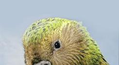 Kakapo: Flightless wonder