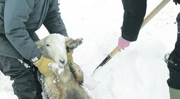 Farmer rescues lamb