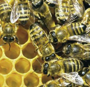 Mankind has a complicated relationship to the bee