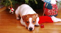 The Dogs Trust has suspended adoption over the Christmas period