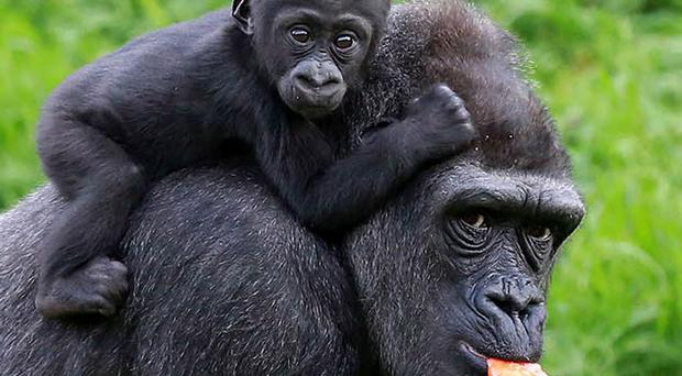 Peep show: gorillas Baako and mother Kwanza at Belfast Zoo