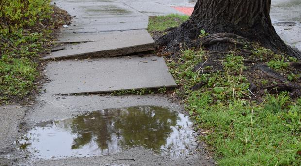 Rocky road: Tree roots create a bumpy pavement