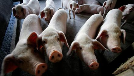 Reform: New laws in England will improve pig welfare, but will they be implemented in Northern Ireland?