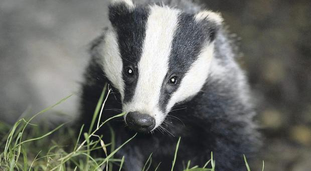 Under fire: England plans to kill badgers to prevent spread of TB to cattle, but is there another way?