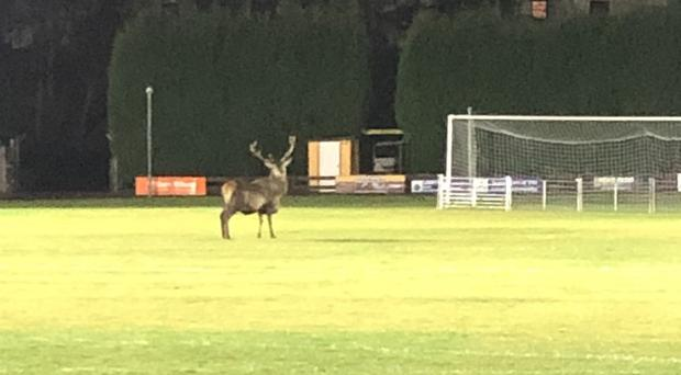 A stag on the pitch at Fort William's Claggan Park (Fort William FC)