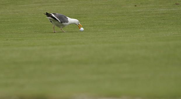 A shore bird tried to grab the golf ball of Phil Mickelson on the 10th hole (Carolyn Kaster/AP)
