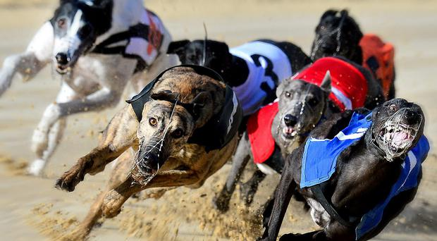 Braeside Bully won the A4 Ocean Feed Greyhound final at Drumbo on Saturday night. (stock picture)