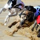 Rafas Wee Toots won the Oceanfeed Greyhound & DTSC Bitches Stakes on Saturday (stock photo)