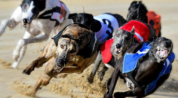 Hiya Butt missed out after leading the English Greyhound Derby at Towcester on Saturday night (stock photo)