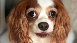 PUPPY EYES: A King Charles like the one that inspired Lucy's Law