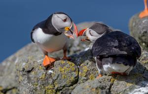 Rathlin Island is a popular puffin breeding ground