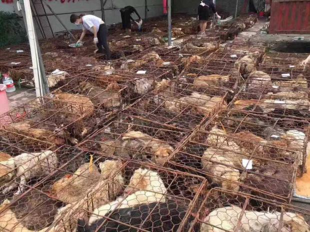 Dogs in creates being rescued from the chinese meat market.