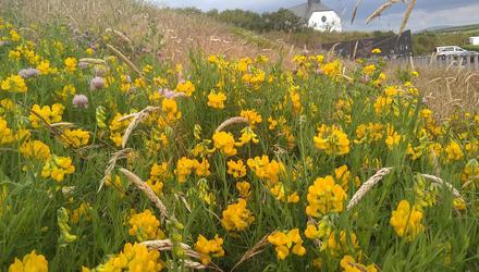 Wildflowers at the Giant's Causeway, Co Antrim