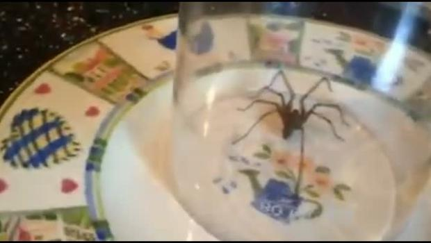 Kirsten Elder caught this giant spider in her kitchen sink. Pic: Kirsten Elder